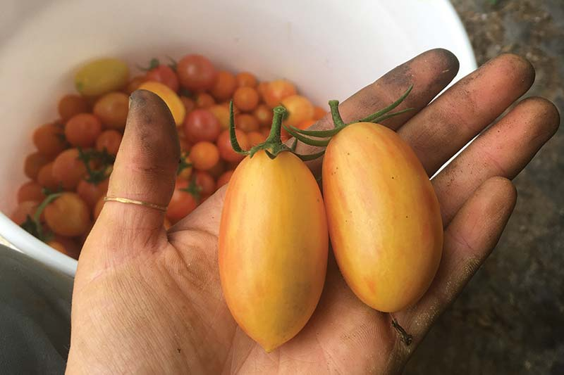 Tomatoes in hand.